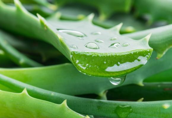 Beneficios del Aloe Vera: ¿Qué Beneficios para los Perros?