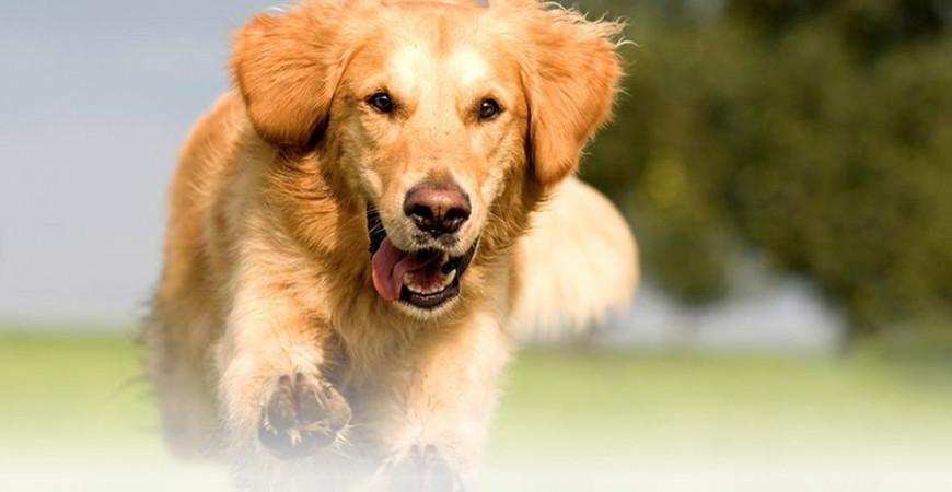 Tendinite du chien : comment la soigner ?