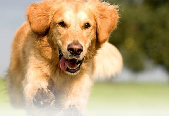 Tendonitis in dogs: how to treat it?
